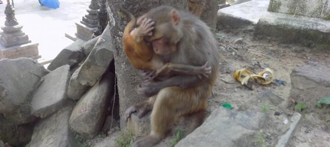 Nepal – La Swayambhunath, printre maimute