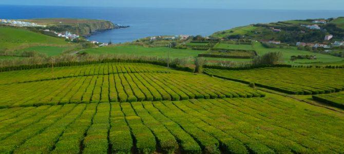 Gorreana – Ceaiul de la capatul Europei